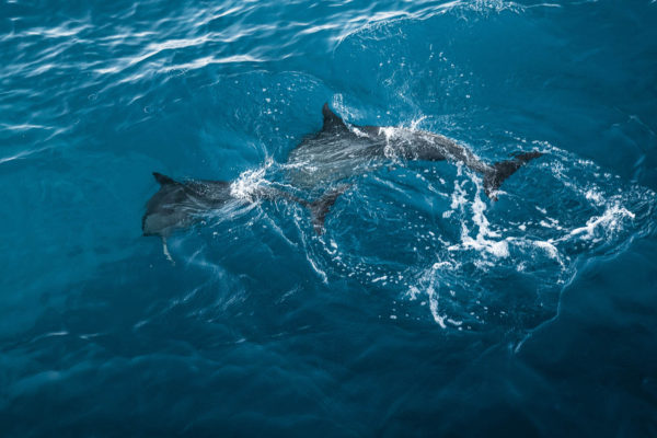 Spinner Dolphins (naiʻa)