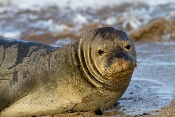 Hawaiian Monk Seal (ʻīlioholoikauaua).