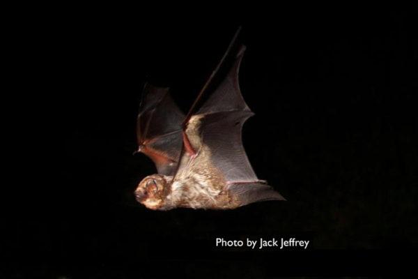 Hawaiian Hoary Bat (ʻōpeʻapeʻa)