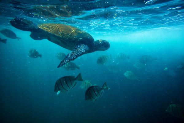 Turtles - Hawaiian Green Sea Turtles (honu), Hawksbill (ʻea)