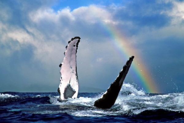 Humpback Whale (koholā)